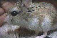 Джунгарский хомячок (Phodopus sungarus) изучен лучше всего.