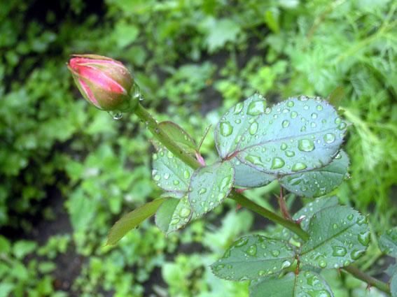 rose.jpg (567x425, 87Kb)