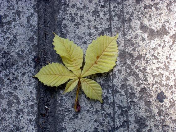 leaf.jpg (567x425, 121Kb)