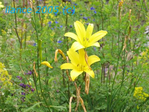 Желтые лилии.jpg (480x360, 128Kb)