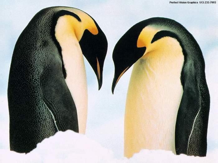 пингвины_сердечко.jpg (700x525, 44Kb)