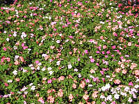 flowers.jpg (200x150, 45Kb)