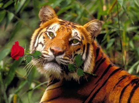 http://www.liveinternet.ru/images/attach/557/557493_tigra.jpg