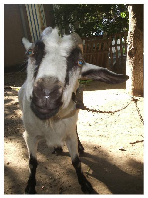 коза.JPG (488x651, 52Kb)