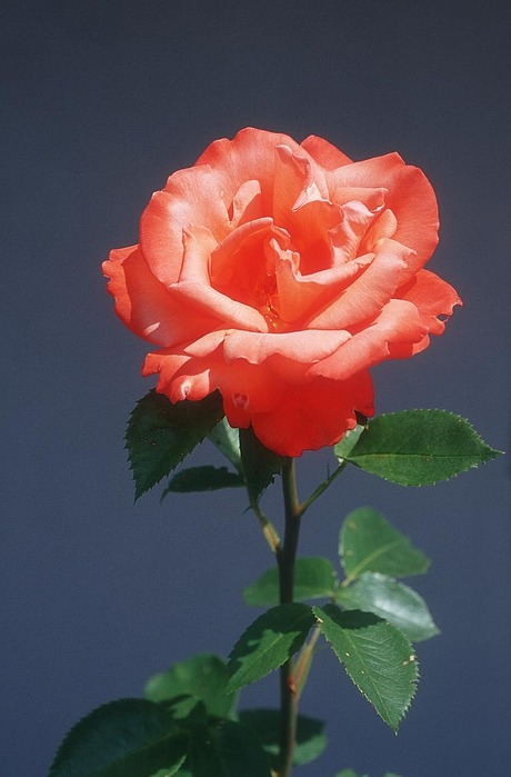 flower-rose_5xv.jpg (460x699, 70Kb)