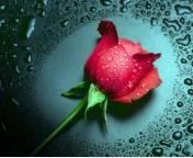 Rose 2.jpg (176x144, 7Kb)