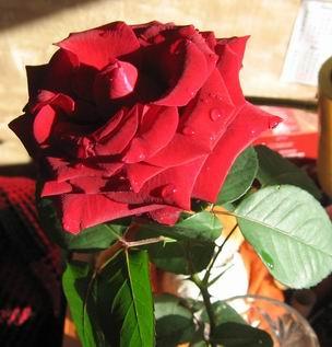 rose of ledy J