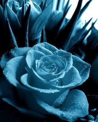 синяя роза.JPG (320x400, 26Kb)