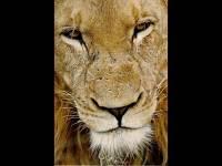 lions_010.jpg (200x150, 5Kb)